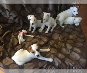 Jack Russell Terrier Breeder in LAS VEGAS, NV
