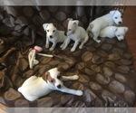 Jack Russell Terrier Breeder in LAS VEGAS, NV, USA