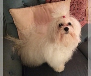 Main photo of Coton de Tulear Dog Breeder near WINNSBORO, TX, USA
