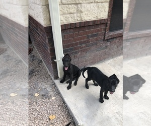 Dutch Shepherd Dog Dog Breeder in SALADO,  USA