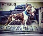 Bull Terrier Breeder in ALVATON, KY, USA