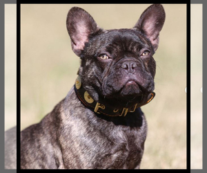 Main photo of French Bulldog Dog Breeder near PHOENIX, AZ, USA