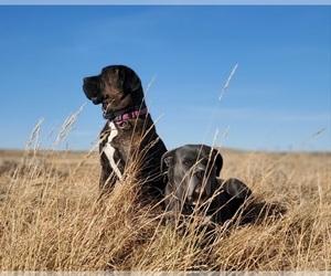 Main photo of Cane Corso Dog Breeder near CASPER, WY, USA