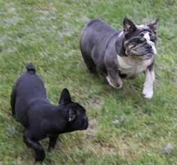 French Bulldog Breeder in YULAN, NY