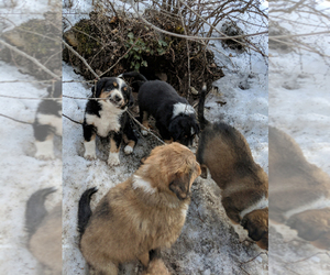 English Shepherd Dog Breeder near CLINTON, MT, USA
