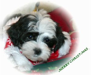 Main photo of Havanese Dog Breeder near KODAK, TN, USA
