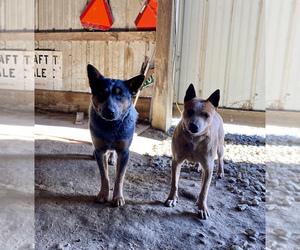 Australian Cattle Dog Dog Breeder near SEAMAN, OH, USA