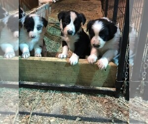 Border Collie Dog Breeder near BELLVILLE, TX, USA