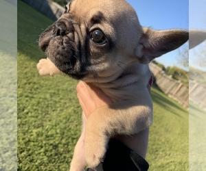 Main photo of French Bulldog Dog Breeder near HOUSTON, TX, USA