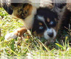 Main photo of Australian Shepherd Dog Breeder near MARION CENTER, PA, USA