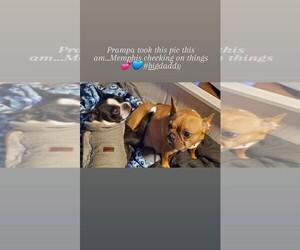 Main photo of Faux Frenchbo Bulldog Dog Breeder near SPFLD, MA, USA