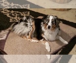 Miniature Australian Shepherd Breeder in SHERMAN, TX, USA