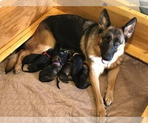 Main photo of German Shepherd Dog Dog Breeder near FARGO, ND, USA