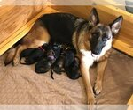 German Shepherd Dog Breeder in FARGO, ND, USA