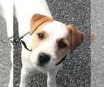 Jack Russell Terrier Breeder in BERNARDSTON, MA, USA