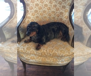 Dachshund Dog Breeder in BENTON,  USA