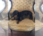 Dachshund Breeder in BENTON, AR, USA