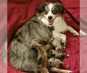 Main photo of Miniature Australian Shepherd Dog Breeder near CALISTOGA, CA, USA