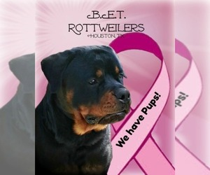 Main photo of Rottweiler Dog Breeder near HOUSTON, TX, USA