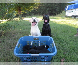 Labrador Retriever Breeder in JACKSONVILLE, AL
