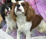 Cavalier King Charles Spaniel Breeder in CLATSKANIE, OR, USA
