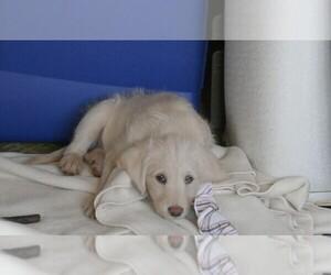Main photo of Labradoodle Dog Breeder near ANACONDA, MT, USA