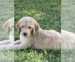 Golden Retriever Dog Breeder in IONIA,  USA