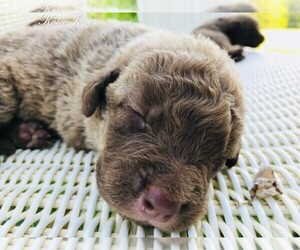 Chesapeake Bay Retriever Dog Breeder near TUSCALOOSA, AL, USA