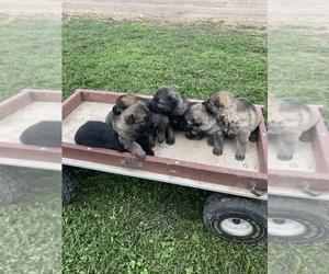 Main photo of German Shepherd Dog Dog Breeder near NEILLSVILLE, WI, USA