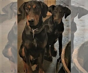 Main photo of Doberman Pinscher Dog Breeder near ELLINGTON, CT, USA