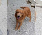 Golden Retriever Breeder in ODON, IN, USA