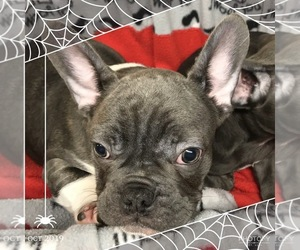 French Bulldog Dog Breeder in ARCHBOLD,  USA