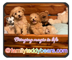 Poodle (Toy)-ShihPoo Mix Dog Breeder in LEBANON,  USA