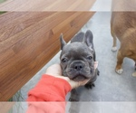 French Bulldog Breeder in MIAMI, FL, USA