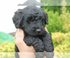 Main photo of Goldendoodle Dog Breeder near ANTIOCH, TN, USA