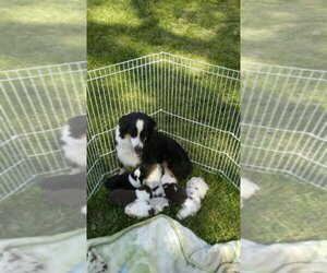 Main photo of Miniature Australian Shepherd Dog Breeder near RAVENWOOD, MO, USA