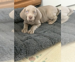 Weimaraner Dog Breeder near LITITZ, PA, USA