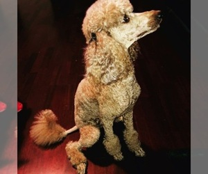 Main photo of Poodle (Standard) Dog Breeder near GLENDALE, AZ, USA