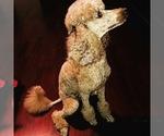Poodle (Standard) Breeder in GLENDALE, AZ, USA