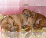 Redbone Coonhound Breeder in TOPEKA, KS, USA