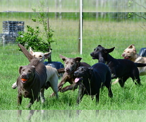 Labrador Retriever Dog Breeder in OSTEEN,  USA