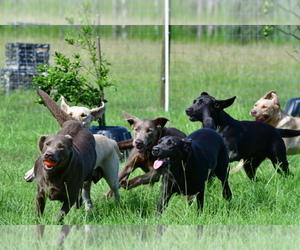 Labrador Retriever Dog Breeder near OSTEEN, FL, USA