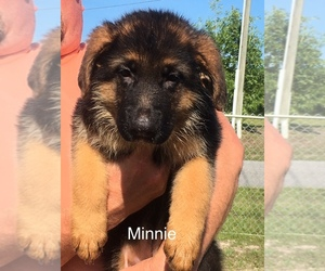 German Shepherd Dog Breeder in SPRING HILL, FL