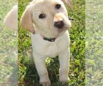 Labrador Retriever Breeder in UNIONVILLE, MO