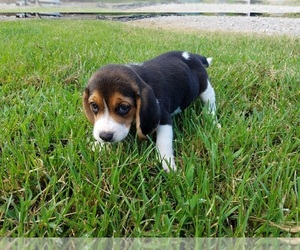 Beagle Breeder in PITTSBURG, KS, USA