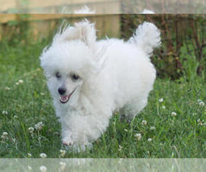 Poodle (Toy) Dog Breeder in SIOUX FALLS,  USA