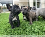 French Bulldog Breeder in IRVINE, CA, USA