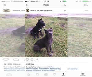 Main photo of Cane Corso Dog Breeder near CAROL CITY, FL, USA