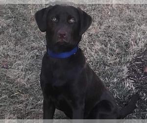 Main photo of Labrador Retriever Dog Breeder near BIG CANOE, GA, USA