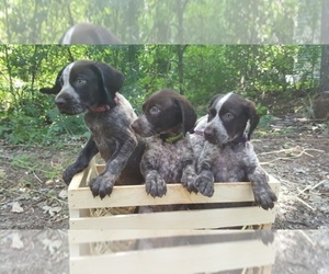 German Shorthaired Pointer Dog Breeder in GREENVILLE,  USA